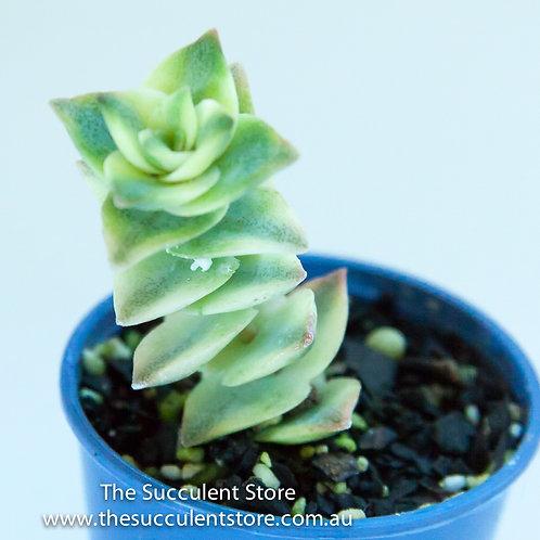 Crassula perforata variegated