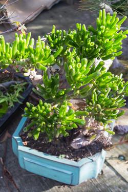 Succulents_Mixed-129