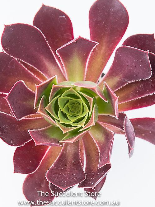 Aeonium arboretum var. atropurpeum
