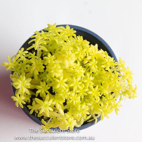 Sedum japonica Tokyo Sun
