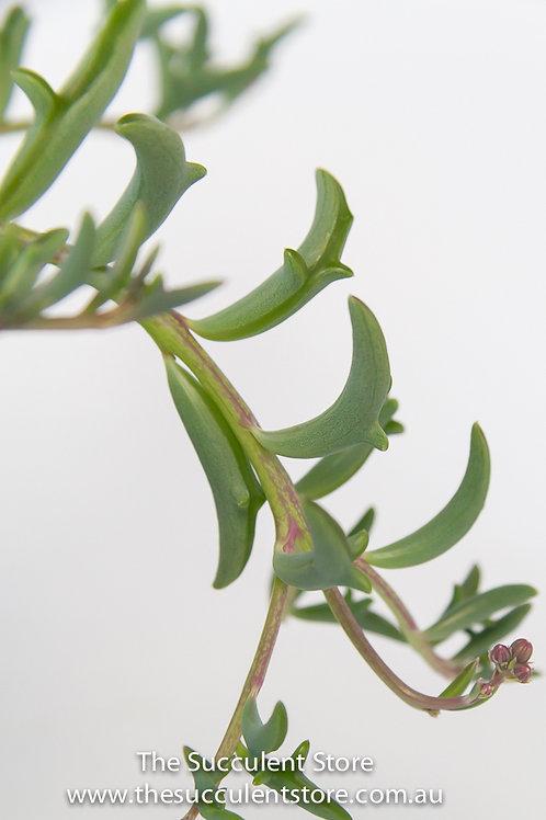 Senecio peregrinus Dolphin Plant