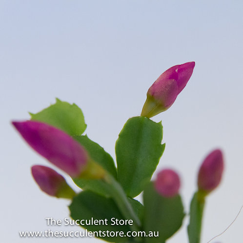 Zygocactus Purple Dancer