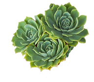 Succulents-K-103c.png