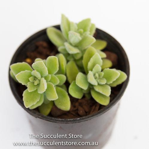 Plectranthus tomentosa Vick's Plant