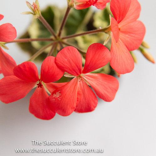 Geranium Variegata Coral Pink