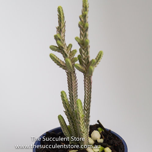 Crassula lycopodiodes variegata