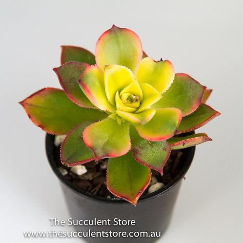 Aeonium tricolour