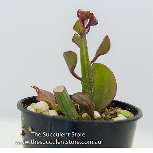 Senecio anteuphorbium (swizzle stick succulent)