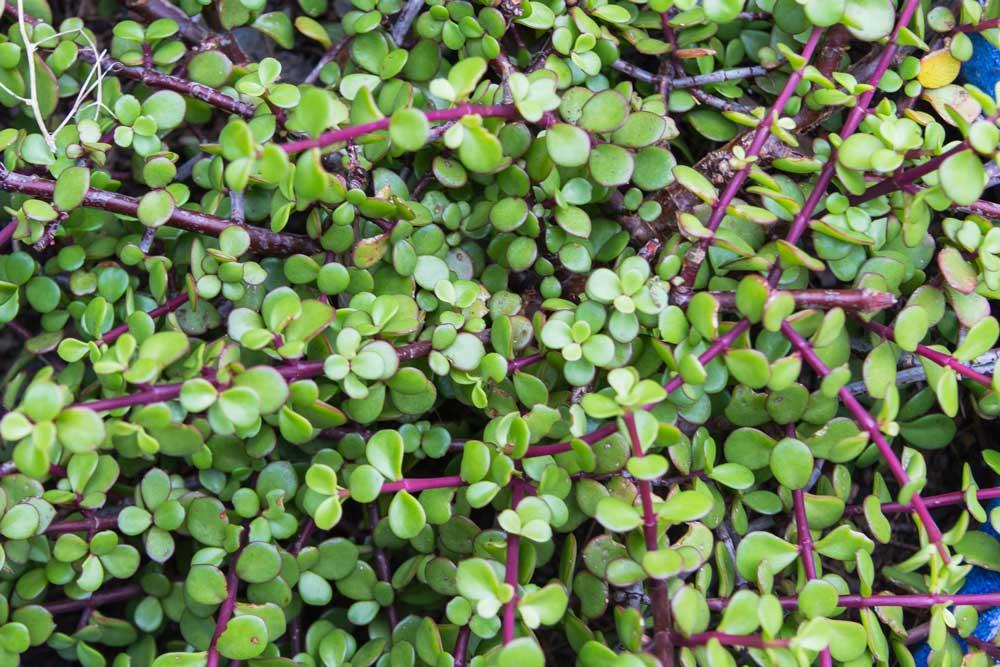 Succulents-K-121