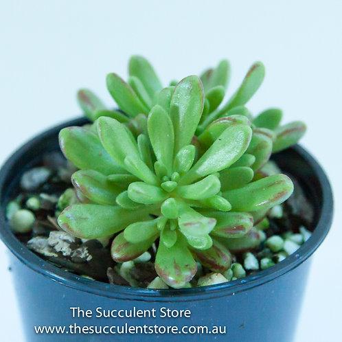 Aeonium sedifolium