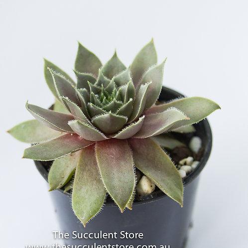 Sempervivum Purple Velvet