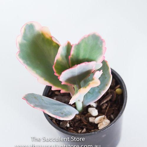 Kalanchoe Bryophyllum  fedtschenkoi varigata