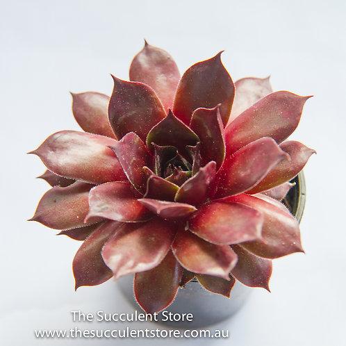Sempervivum Marland Beauty