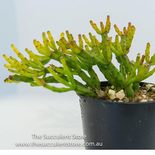 Rhipsalis salicorniodes