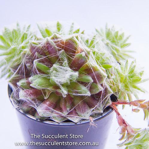 Sempervivum arachnoideum Red Cobweb