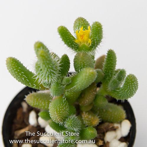 Delosperma echinatum (Pickle Plant )