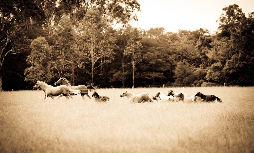Early photo of our foundation horses