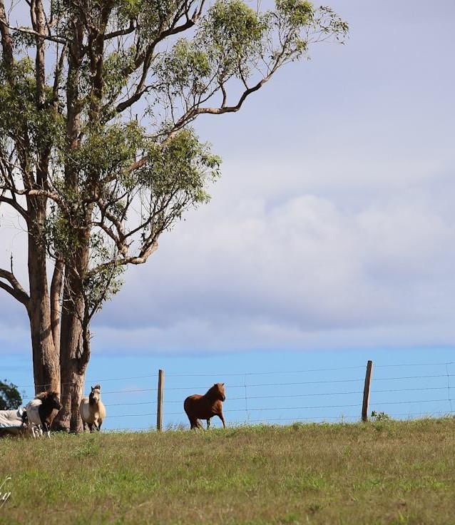 Pony herd