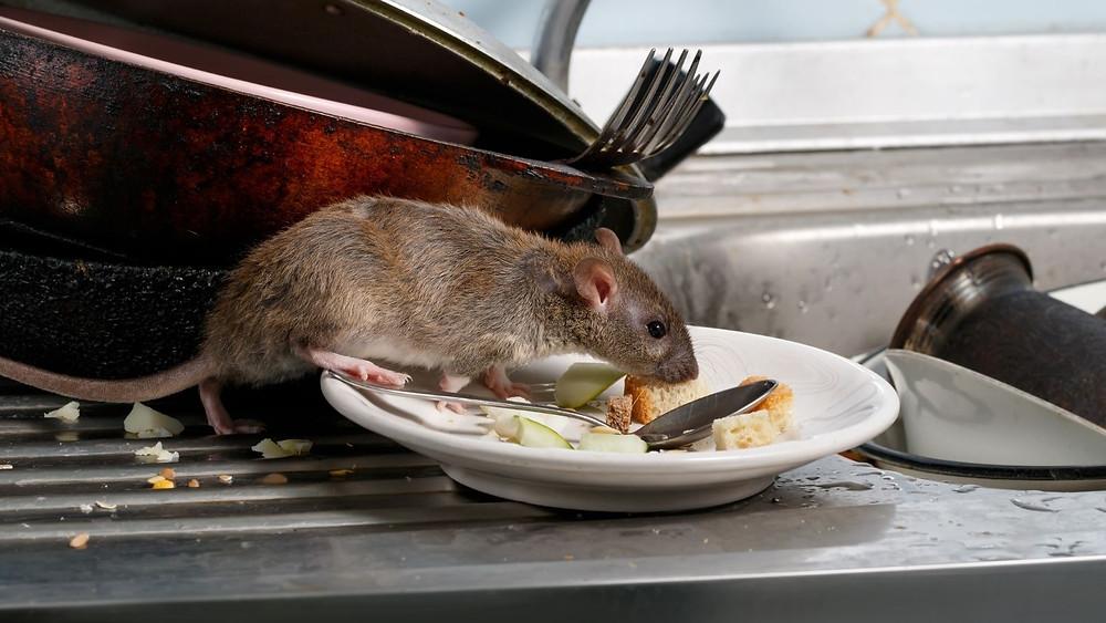 Rattenbekämpfung Aachen - Schädlingsbekämpfung