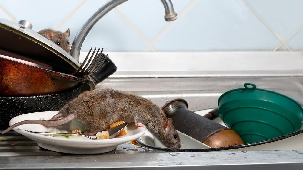 Rattenbekämpfung Aachen