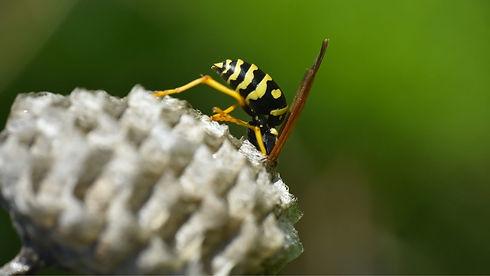 Wespenbekämpfung Dorsten