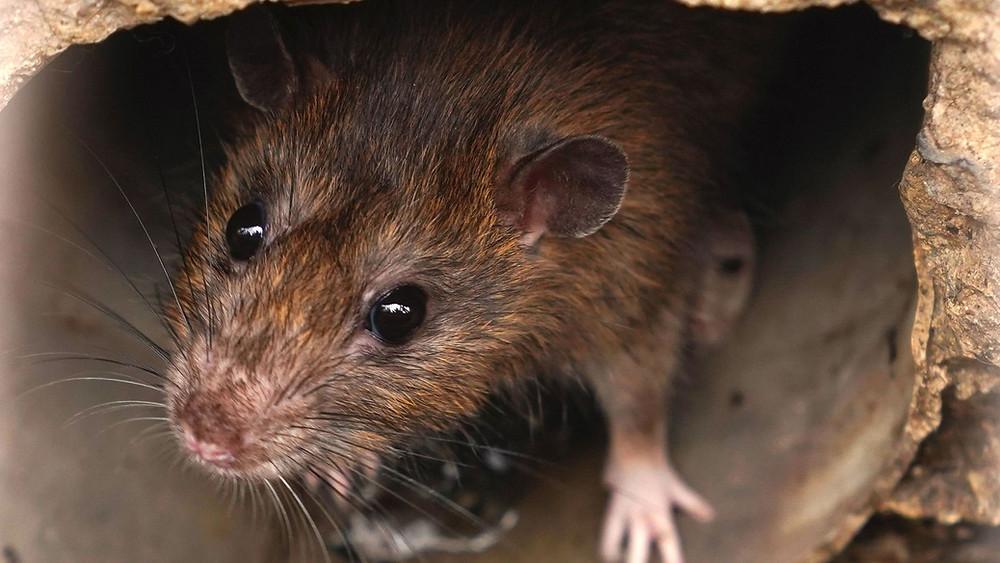 Rattenbekämpfung Aachen - Kammerjäger