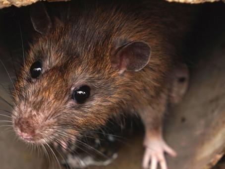 Rattenbekämpfung für Immobilienbesitzer