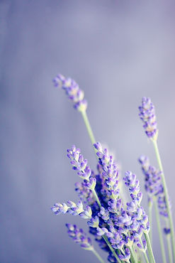 lavender: often made into essential oil