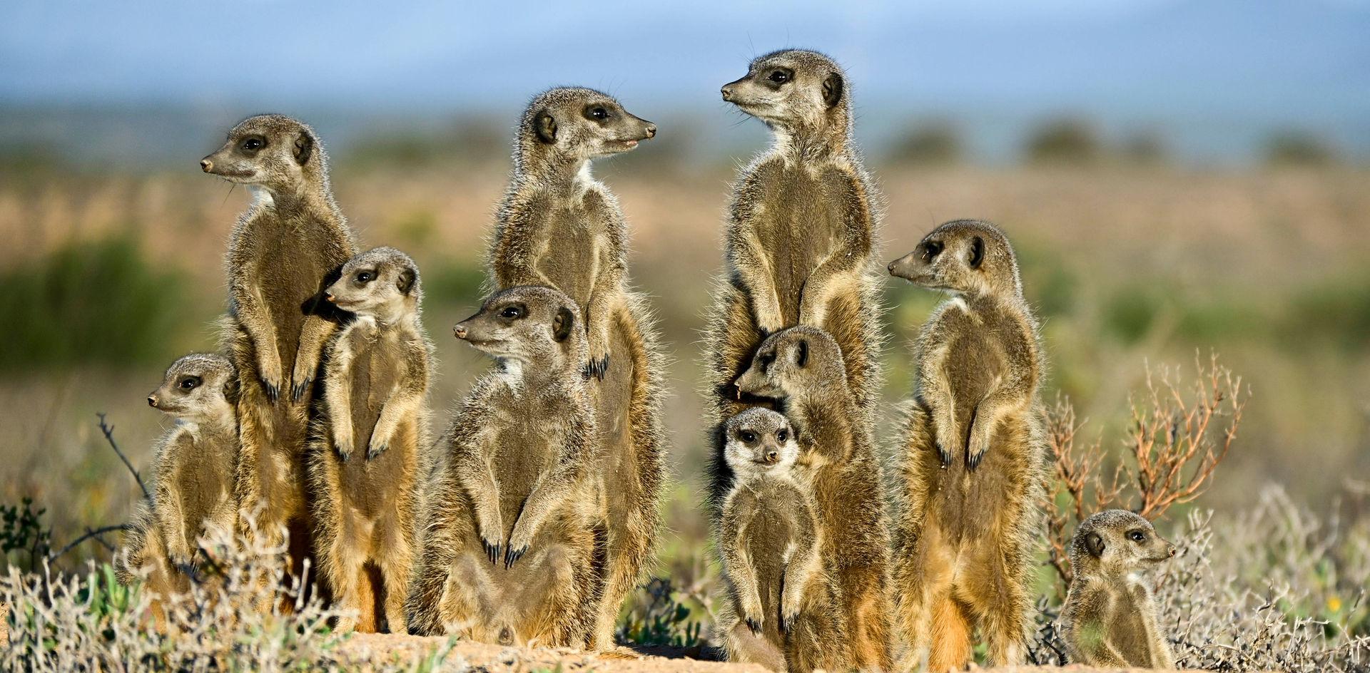 Meerkats in Oudtshoorn, Klein Karoo area of South Africa's Western Cape