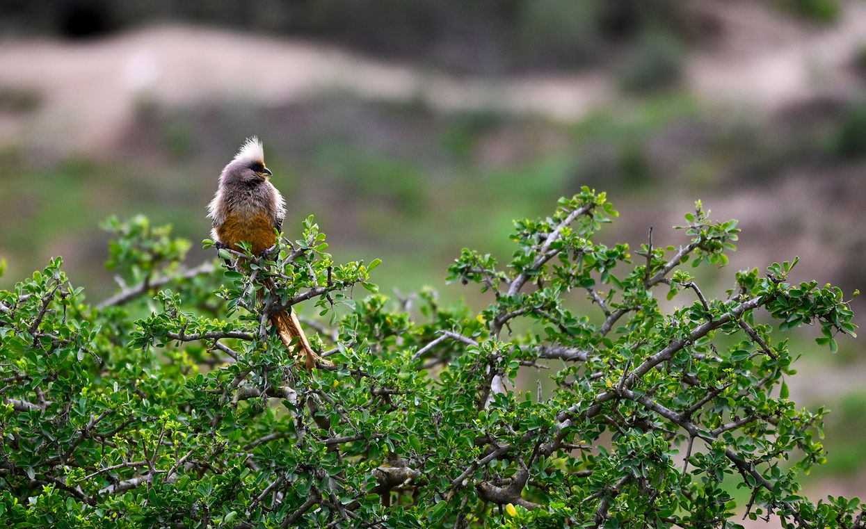Mousebird, Addo Elephant Park