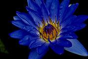 lotus 3.jpg