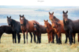 продажа лошадей.jpg