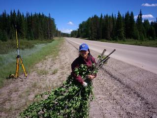 Allometric equations developed for the underrepresented shrubs of Alberta's peatlands