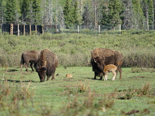 Monitoring the Impacts of the Banff Bison Reintroduction on Vegetation Communities