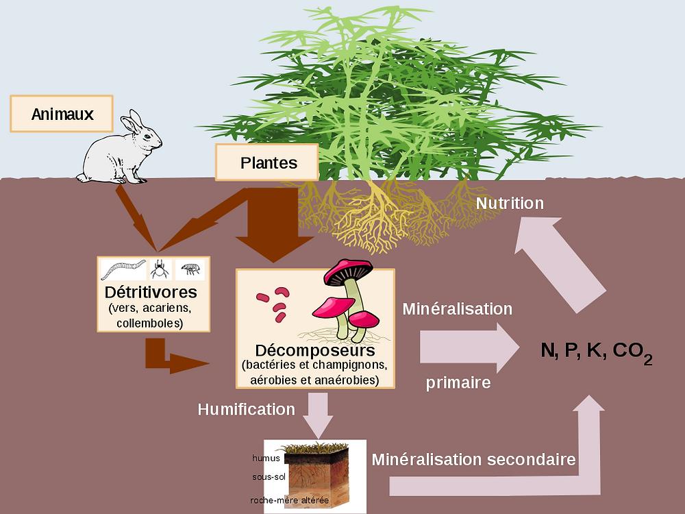 cycle de la matière organique : minéralisation et humification (source : wikipedia)
