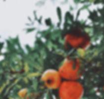 granaatappel-boom.jpg
