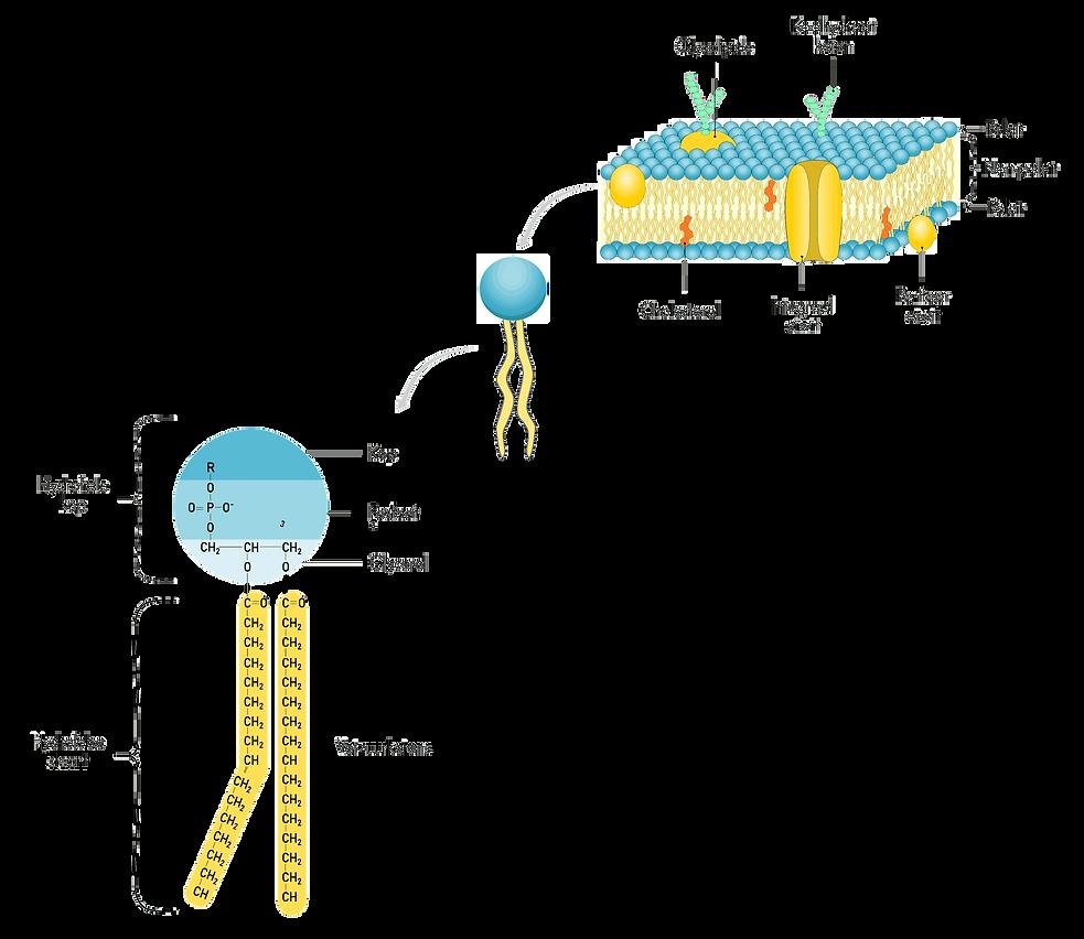 phospholipids2.png