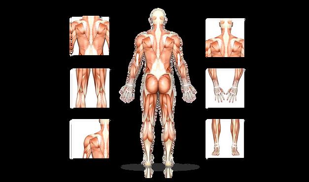人體肌肉 (分布圖).png