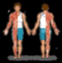 人體肌肉分布 2.png