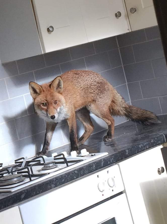 Fox in kitchen