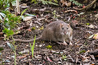 Brown rat (Rattus norvegicus) looking at