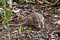Brown rat (Rattus norvegicus) looking at