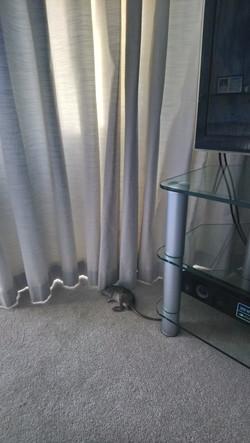 Rat found dead in lounge