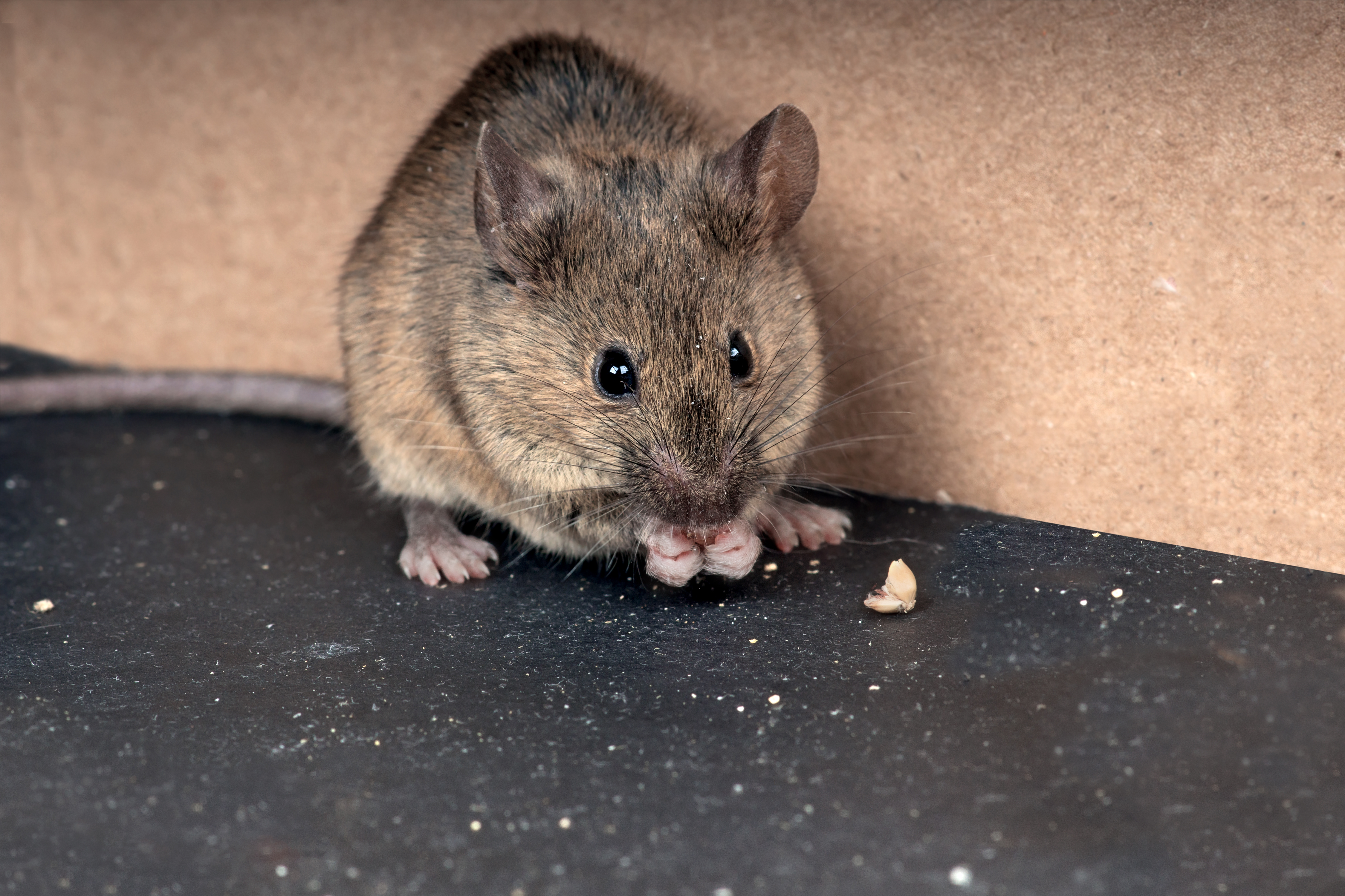 Common house mouse  (Mus musculus) gnaws