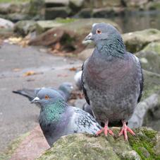 Pest Control Pigeons