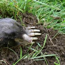 Pest Control Moles