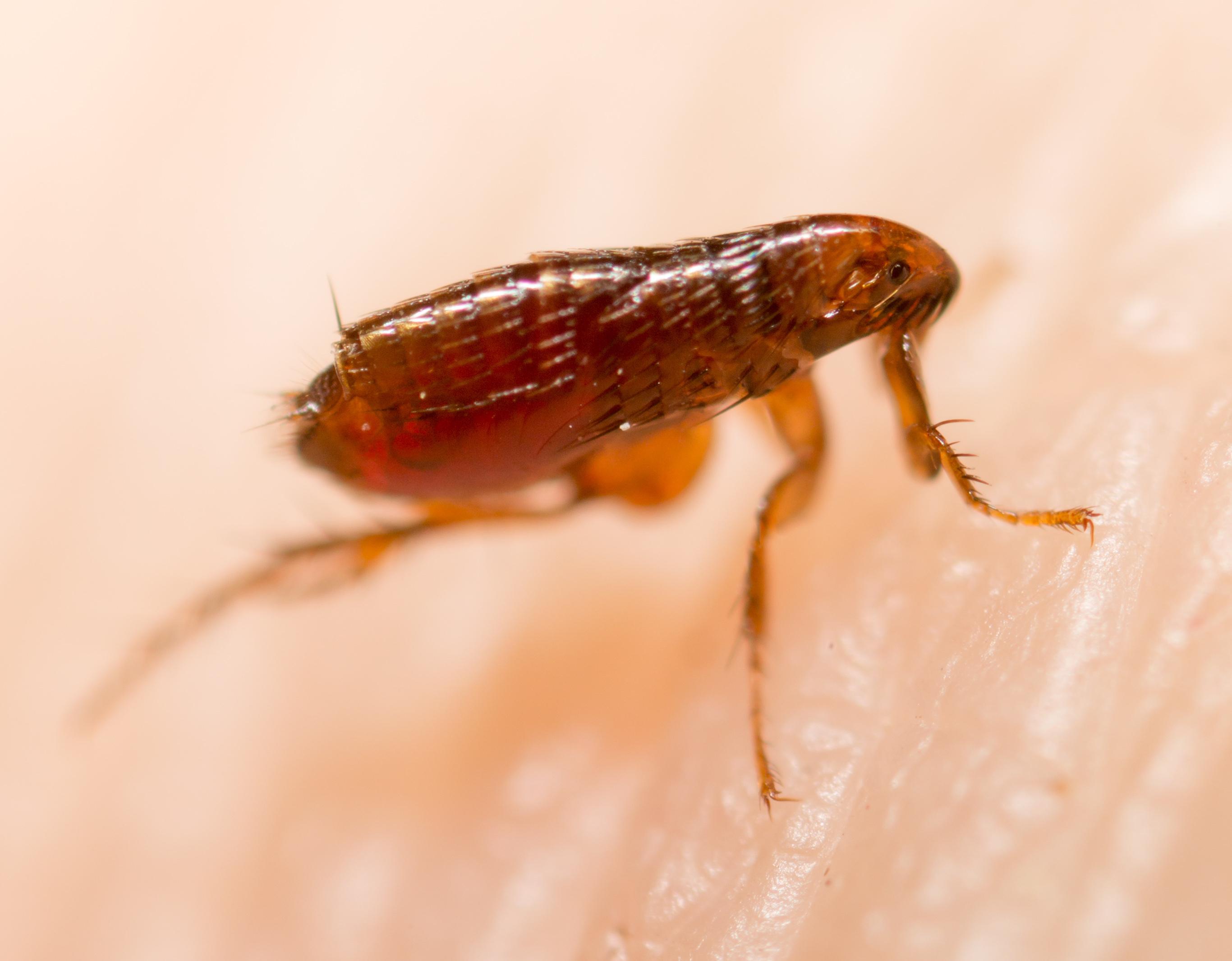 Flea on human skin.