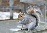 A grey squirrel perched on a fence with