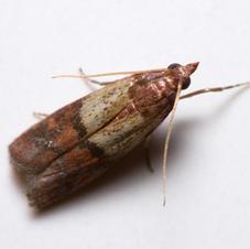 Pest Control Food Moths