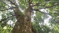 Projetocogumelos.org Árvore Kunugui